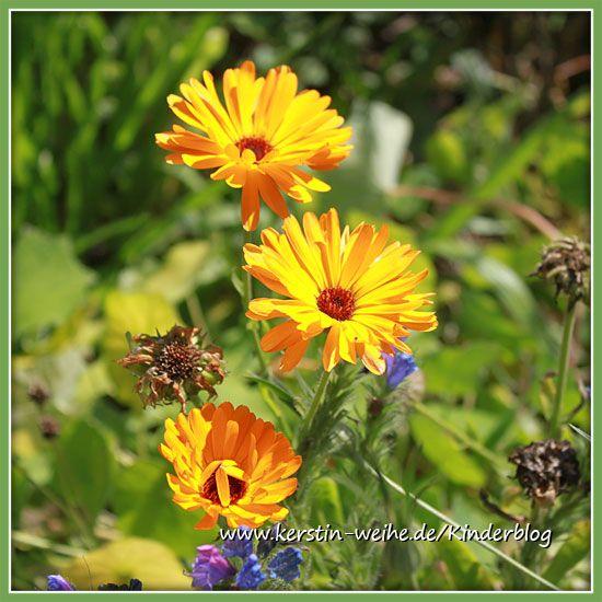 Ringelblumen - Calendula