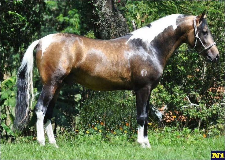 Sooty dapple buckskin pinto Mangalarga Marchador horse