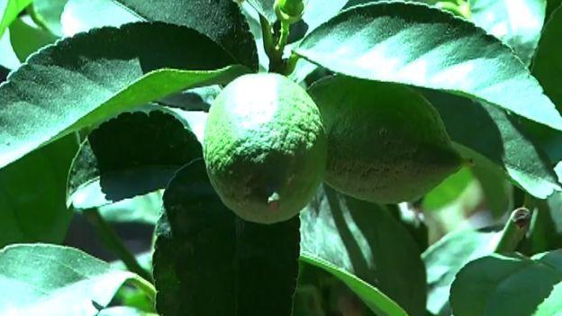 Coltivare limoni sul balcone
