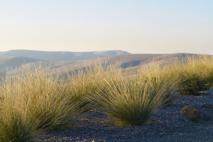 Muhlenbergia dubia in a wide-open setting
