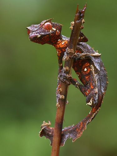 Satanic Leaf-Tailed Gecko (named for their horns)