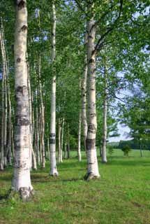 fotografia, materiale, libero il panorama, dipinga, fotografia di scorta,Boschetto di frusta, Hitsujigaoka, albero, frusta,