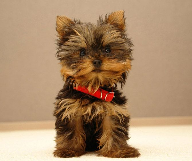 Yorkshire Terrier...