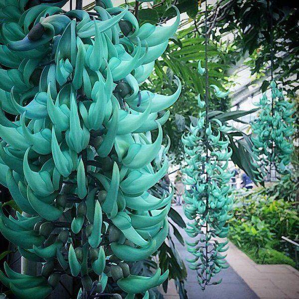 Nome Científico: Strongylodon macrobotrys Nativa da Filipina, é de tão surpreendente beleza que sua cor se compara à das pedras preciosas jade e esmeralda. Trepadeira vigorosa, perene, de ramos lenhosos que podem com facilidade alcançar mais de 10m de comprimento. As folhas verdes são abundantes e fornecem boa sombra. As flores surgem nos meses quentes através da formação de longas inflorescências axilares, apresentam o formato de garras invertidas, com brilho perolado e coloração azul…
