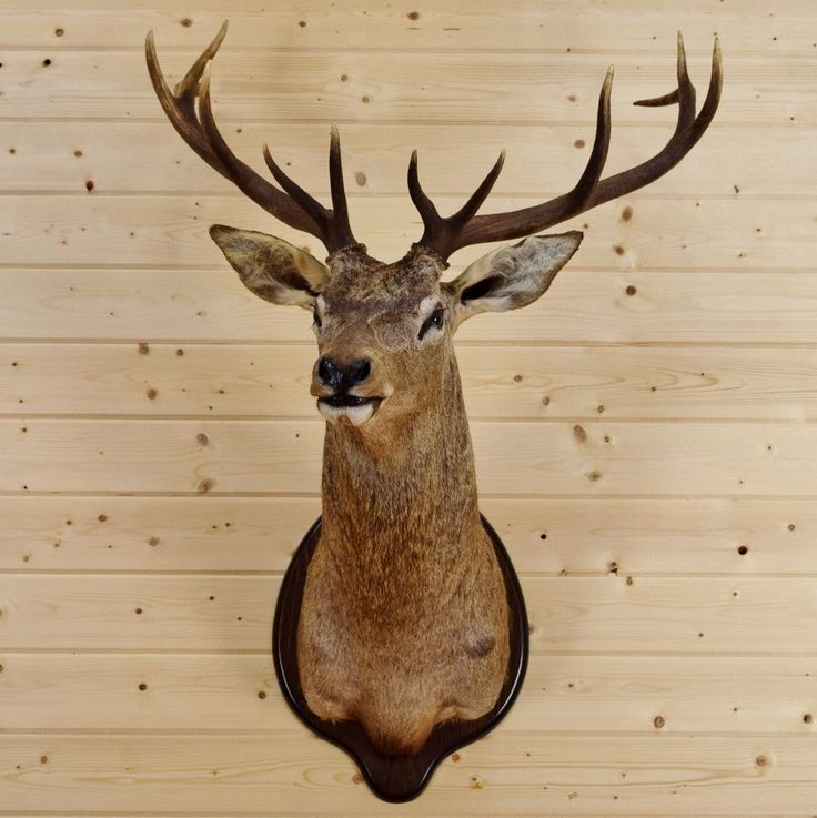 Red Stag Taxidermy Mount SW3999 for sale - Safariworks Taxidermy Sales