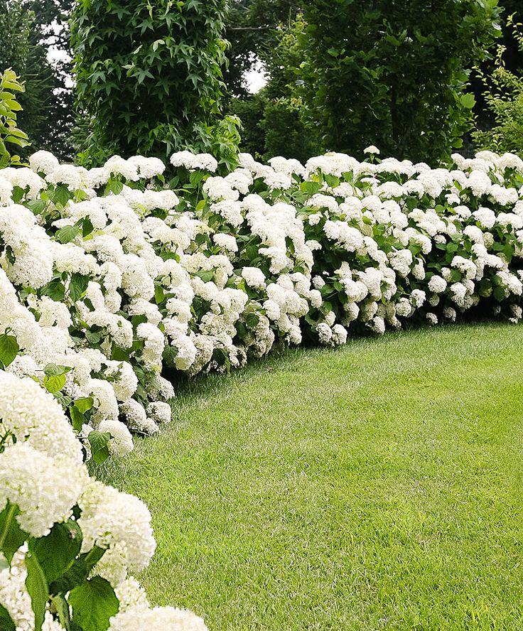 best 20 flowering bushes ideas on pinterest yard. Black Bedroom Furniture Sets. Home Design Ideas