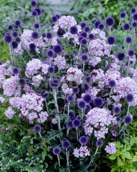 Globe Thistle and phlox. Nature's perfect flower arrangement.