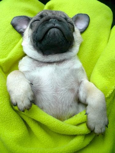 Pug: Pugs Puppies, French Bulldogs, Pet, New Puppies, Naps Time, Pugs Love, Pugs Life, Sweet Dreams, Baby Pugs