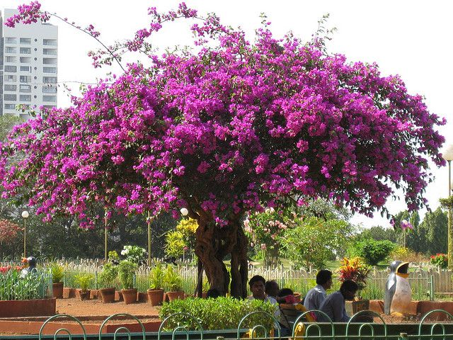 how to grow a bougainvillea tree