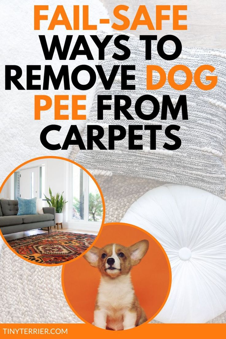 how to get out dog urine stains from carpet