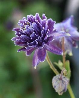 Aquilegia vulgaris 'Christa Barlow'