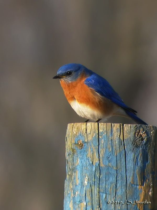 Eastern Bluebird (male). Simply gorgeous. Photo by Jerry Jourdan.