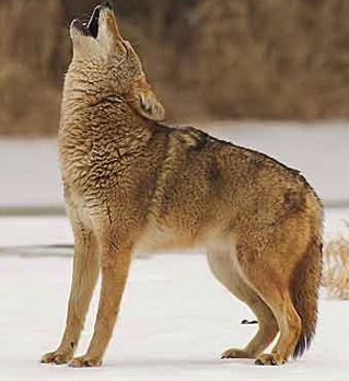 coyote hunting essay Coyote hunting bullets user name:  stacked wet phone books and news papers i ended up with the sierra 85gr hpbt  coyotes and will dust a crow for my 243 i.