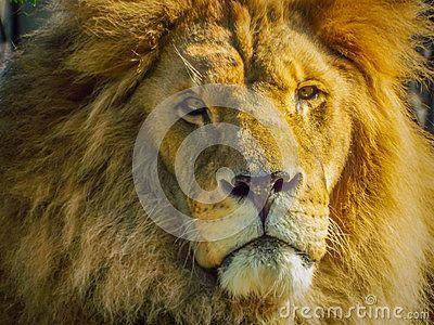 Beautiful african lion face
