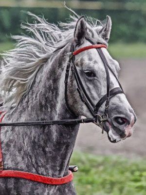 Dappled Grey Orlov Trotter-horse