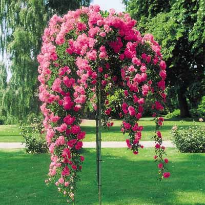 I really want one of these or two! Rose Tree, Weeping Pink