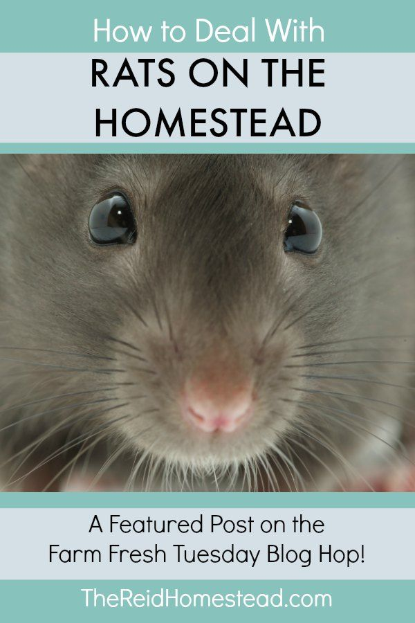 How to Get Rid of Rats on the Homestead - Farm Fresh ...