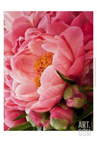 Coral Peonies I Art Print by Rachel Perry at Art.com
