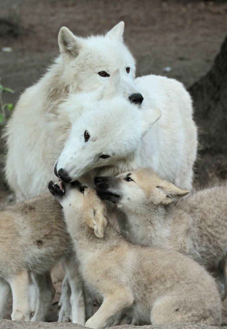 367 best Wolves Have a Right Too images on Pinterest ...