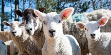 Lambing Sunday | Askham Bryan College