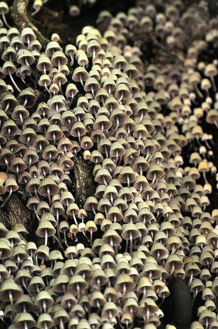 Bükk Mountains (Hungary) - Mushroom metropolis (Coprinus disseminatus) by ๑۩๑ V ๑۩๑, via Flickr
