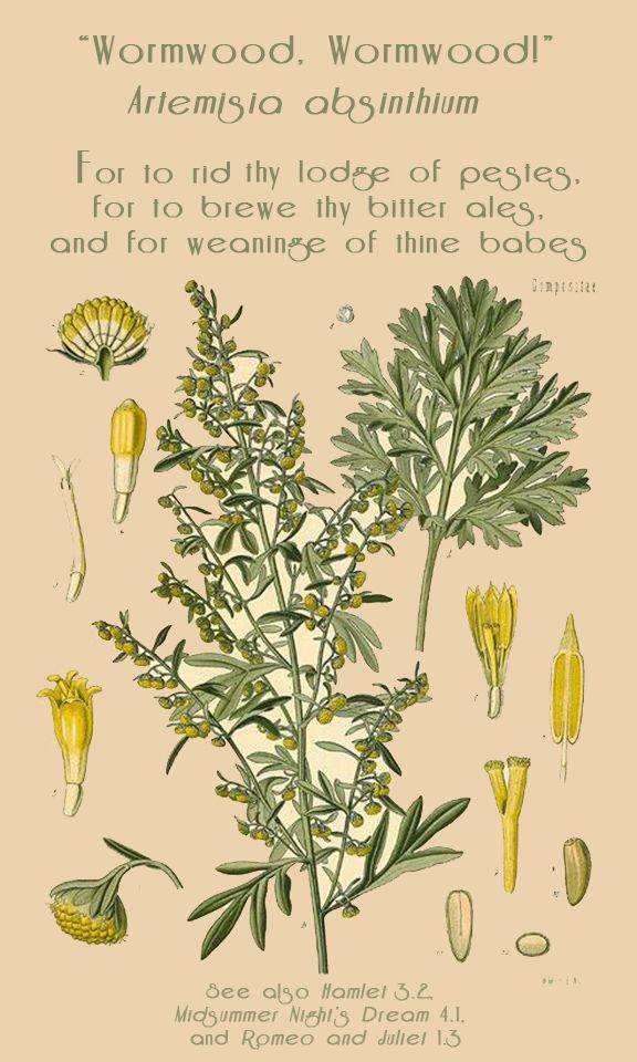 Wormwood (Absinthe/Artemisia absinthium) | detoxifies the liver • expels parasites • eases digestion