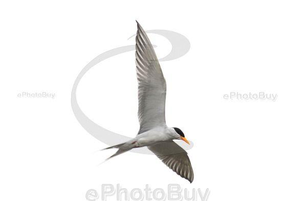 River tern free image