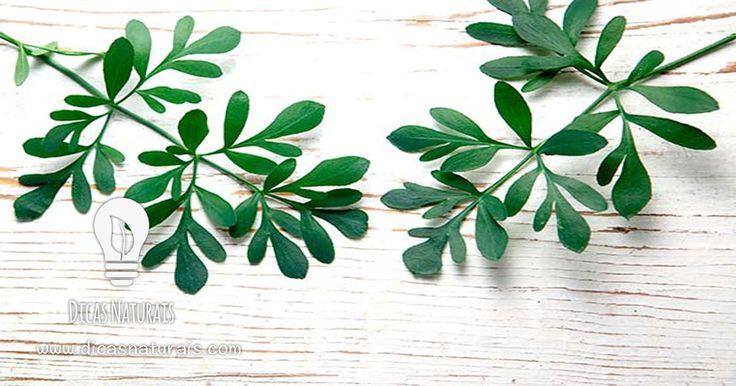 Mantenha a sua casa livre de insectos indesejados de forma natural. Sobretudo para quem tem animais de estimação, este repelente é eficaz em qualquer casa no combate ainsectos como moscas, formigas, mosquitos e pulgas. A arruda para além de actuar comorepelente natural de insectos pode ser usada como planta ornamental ou como erva aromática.   Ingredientes: 50g de folhas frescas de arruda 1/2L de água 125ml de álcool Basta triturar as folhas com a água e o álcool num liquidificado...