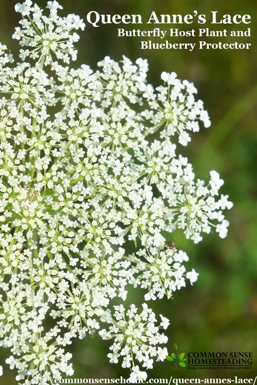 Queen Annes Lace  Butterfly Host Plant and Blueberry Protector