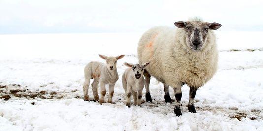 brebis et ses agneaux
