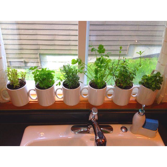 My indoor herb garden! Next up, garden window! Hoping to have one instilled within the month : )
