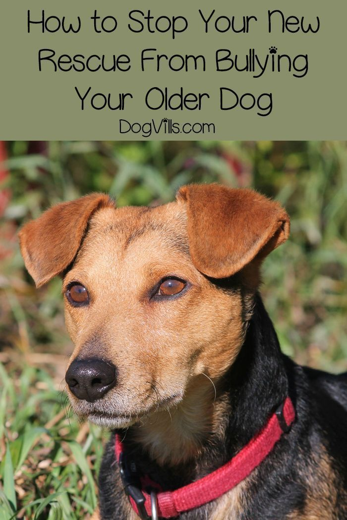 How To Stop Your Rescue Dog From Bullying Your Other Dog Rescue