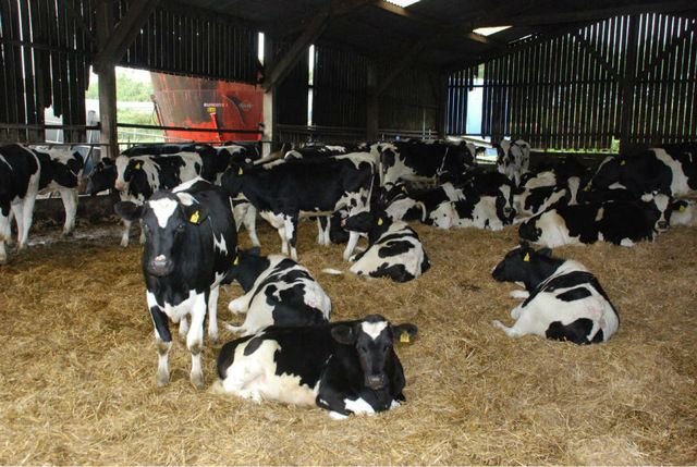 Source ,Black Angus, Simmental and Holstein Heifers live cattles on m.alibaba.com