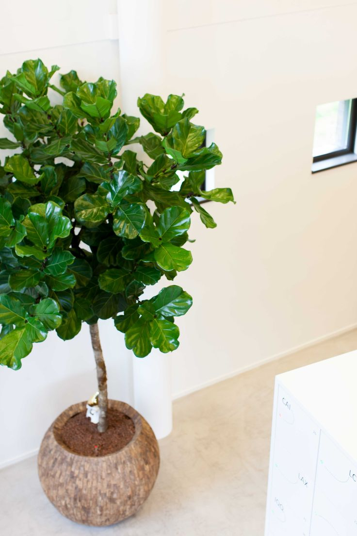 ficus lyrata op stam in cemani bowl planten plants. Black Bedroom Furniture Sets. Home Design Ideas