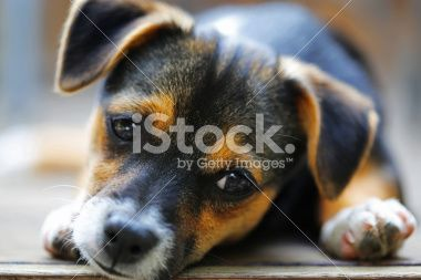 Dog Jack Russell crossed with Mini Fox Terrier puppy Royalty Free Stock Photo