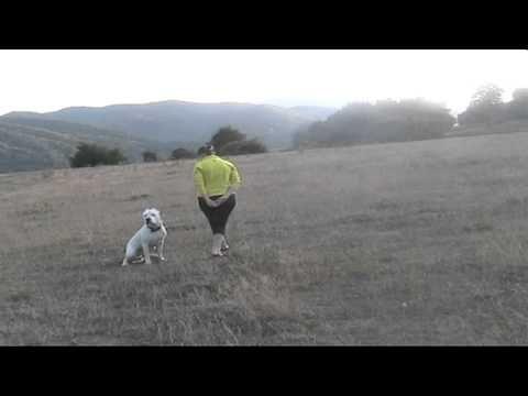 SANTOS,dog argentinian,scoala de dresaj si pensiune caini utilitari INSULTY,http://dresajcaini.blogspot.com/