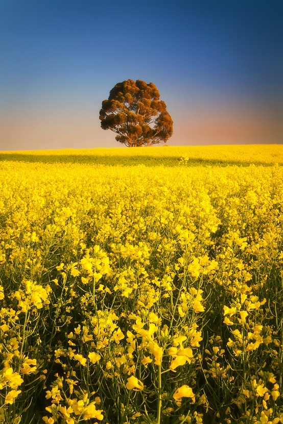 Golden dawn / Clare Valley, South Australia.
