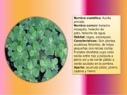 Resultado de imagen para plantas acuaticas flotantes caracteristicas