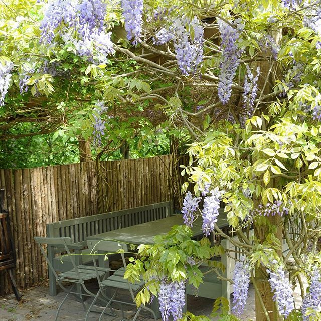 On hot summer days, Jette loves to sit here under her Wisteria and enjoy a cup of her afternoon tea. #wisteria #jettesgarden #gardenvisits #garden #gardening #jettefrölich #jettefroelich #gardendesign #have #blomster