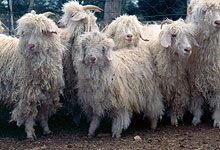 Mohair - International Year of Natural Fibres