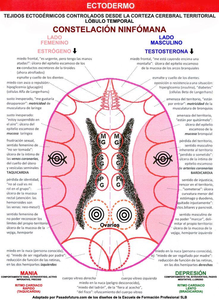 Nueva Medicina Germanica Hamer Ectodermo Corteza Cerebral Territorial Lobulo Temporal Constelacion Ezquizofrenica Casanova Venas Coronarias Arterias Cervix Uterino Utero Vesiculas Seminales Taquicardia Bradicardia Testiculos