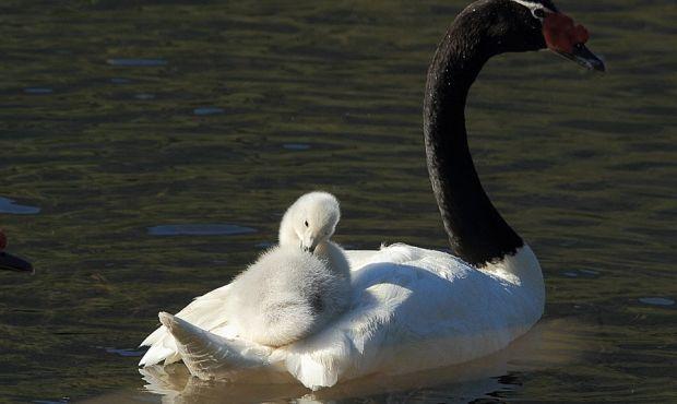 Cisne de Cuello Negro | Fotografìas de la Araucanía