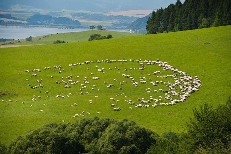 beautiful Liptov nature and herd of sheep