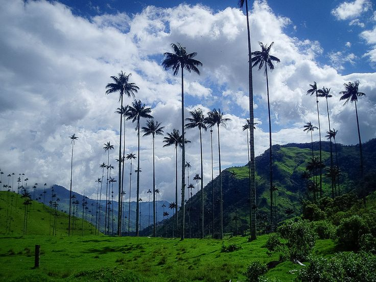 https://flic.kr/p/MwFv5g | Cocora Valley | The Beautiful cocora Valley: A 3 hours hike and enjoy the beautiful landscapes; discovering the Wax Palm, one of the emblematic Icons of Colombia.   More beautiful videos, images, and info on :                                  YOUTUBE | INSTAGRAM | FACEBOOK