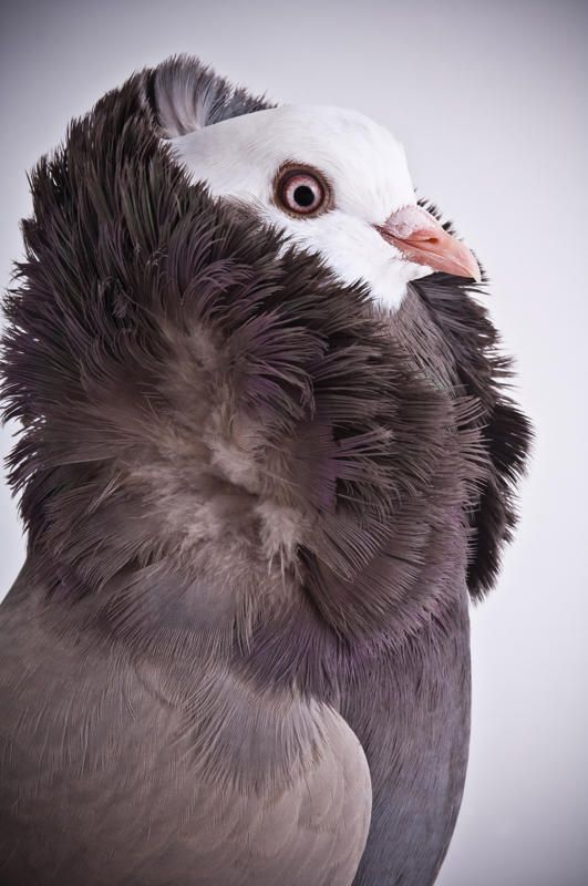 Old Dutch Capucine (Photos by Richard Bailey/Caters News)Darwin's Pigeons