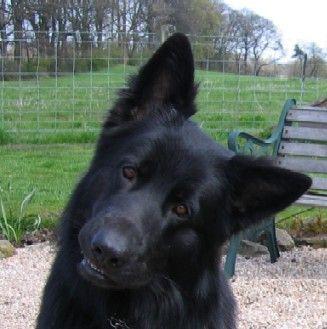 Black German Shepherd, love this dog!