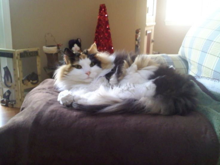 Calico Norwegian Forest Cat | Cute & Cuddly | Pinterest ...