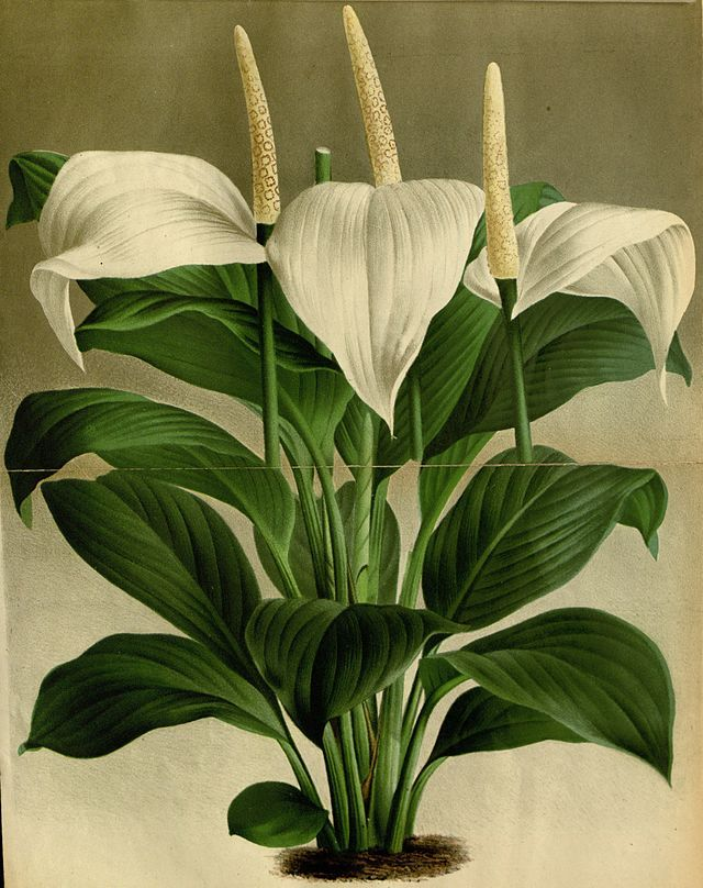 Spathiphyllum - Wikiwand