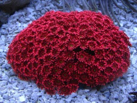 Red goniopora - LPS Corals|Large Polyp Stony Corals|Aquarium Creations Online