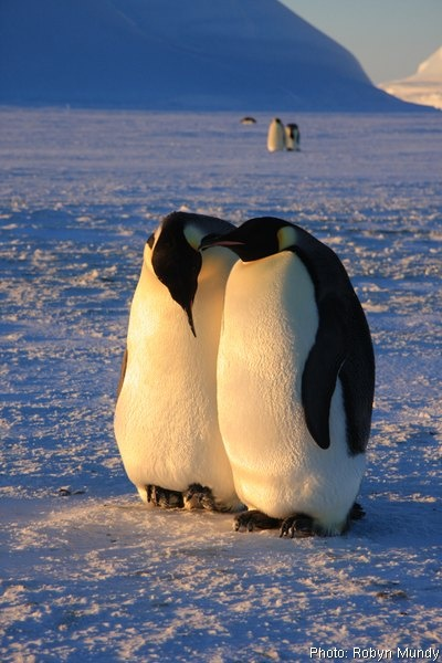 Emperor penguin mating pair